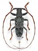 Monochamus ruficornis, ♂, Lamiini, Gabon