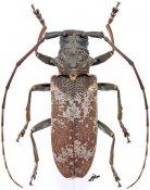 Monochamus ruspator ruspator, ♀, Lamiini, Gabon