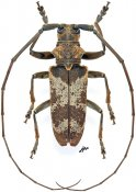 Monochamus ruspator ruspator, ♂, Lamiini, Gabon