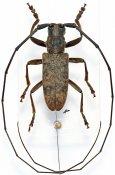 Monochamus congoanus, ♂, Lamiini, Gabon