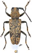 Monochamus flavomarmoratus, ♂, Lamiini, Gabon