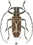 Monochamus x-fulvum, ♀, Lamiini, Gabon