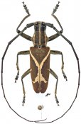 Monochamus x-fulvum, ♂, Lamiini, Gabon