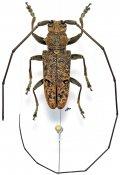 Monochamus distigma, ♂, Lamiini, Gabon