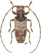 Oxylamia trianguligera, ♀, Lamiini, Gabon