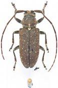 Prodomitia squamigera, ♀, Lamiini, Gabon