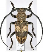 Lamiomimus gottschei, ♂, Lamiini, Shaanxi