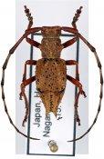 Mesechthistatus furcifer meridionalis, ♂, Phrissomini, Honshu