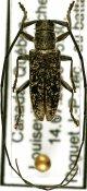 Microgoes oculatus, ♂, Lamiini, Quebec