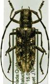 Monochamus scutellatus, ♀, Lamiini, Quebec