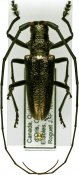 Monochamus scutellatus, ♂, Lamiini, Quebec