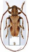 Monochamus strandi, ♂, Lamiini, Cameroon