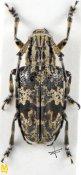 Agelasta glabrofasciata ♀, Mesosini, Yunnan