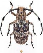 Cacia melanopsis, ♀, Mesosini, Borneo