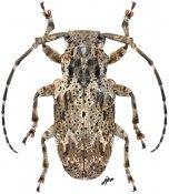 Coptops aedificator, ♀, Mesosini, Gabon