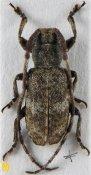 Falsomesosella albofasciata, ♂, Mesosini, Sichuan