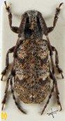 Falsomesosella minor, ♀, Mesosini, Yunnan