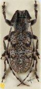 Falsomesosella minor, ♂, Mesosini, Yunnan