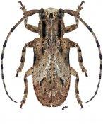 Leptomesosa cephalotes, ♀, Mesosini, Thailand