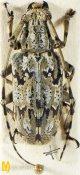 Mesosa (Metamesosa) sp., ♀, Mesosini, Meghalaya