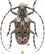 Mutatocoptops malaisiana, ♀, Mesosini, Malayan Peninsula