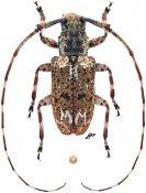 Mutatocoptops malaisiana, ♂, Mesosini, Malayan Peninsula