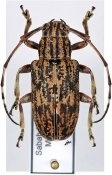 Agelasta lecideosa ♀, Mesosini, Borneo