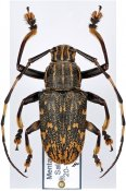 Choeromorpha (Choeromorpha) sp., ♂, Mesosini, Sumatra Is.