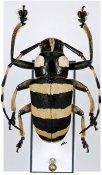 Choeromorpha trifasciata, ♂, Mesosini, Luzon