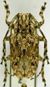 Coptops liturata ♀, Mesosini, Madagascar
