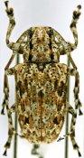 Coptops liturata, ♀, Mesosini, Madagascar