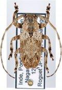 Coptops similis, ♂, Mesosini, S India