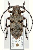 Synaphaeta guexii, ♀, Mesosini, Continental United States