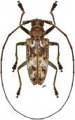 Acalolepta griseofasciata griseofasciata ♂, Monochamini, Guadalcanal