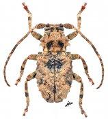 Apomempsoides trispinosa, ♀, Morimopsini, Gabon