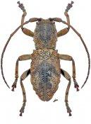 Apomempsis bufo, ♀, Morimopsini, Gabon