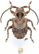 Apomempsoides parva, ♀, Morimopsini, Gabon