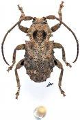 Apomempsoides parva, ♂, Morimopsini, Gabon