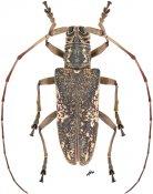 Euthyastus binotatus, ♀, Lamiini, Malayan Peninsula