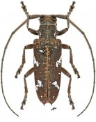 Hammatoderus thoracicus, ♀, Lamiini, Nicaragua