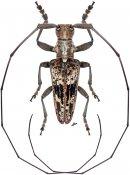 Haplothrix blairi, ♂, Lamiini, Thailand