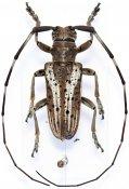 Haplothrix rivulosus, ♂, Lamiini, Thailand