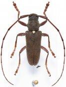 Monochamus olivaceus, ♂, Lamiini, Gabon