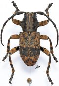 Monoxenus bispinosus, ♂, Morimopsini, Gabon