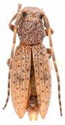 Niphoparmena freudei, ♂, Morimopsini, Tanzania