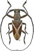Paraleprodera crucifera, ♂, Lamiini, Sri Lanka