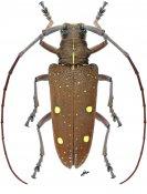 Taeniotes xanthostictus ♀, Monochamini, Nicaragua