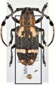Achthophora annulicornis, ♀, Lamiini, Mindanao