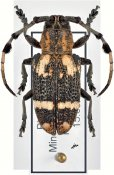 Achthophora annulicornis, ♀, Monochamini, Mindanao