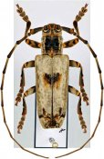 Bixadus sierricola sierricola ♂, Monochamini, Togo